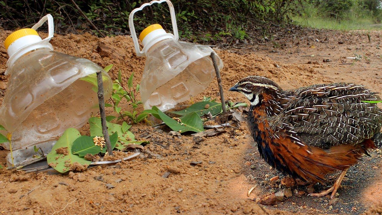 Pet şişelerden yapılan kuş tuzakları iyi sonuçlar verecektir.
