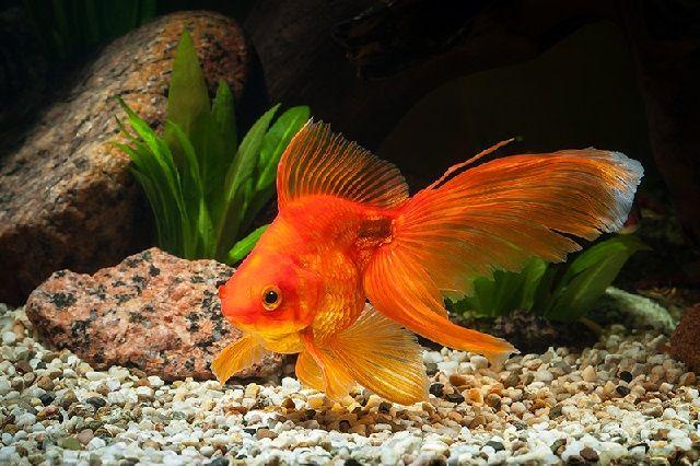 Budidaya Ikan Mas Koki