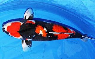 Ikan Koi Jenis Showa