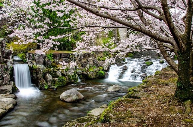 Chùm ảnh đẹp Hoa Anh Đào Nhật Bản vào tháng 02/2020 7