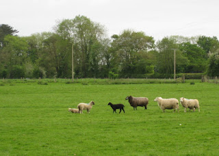 Black lamb and sheep, Oswestry, England