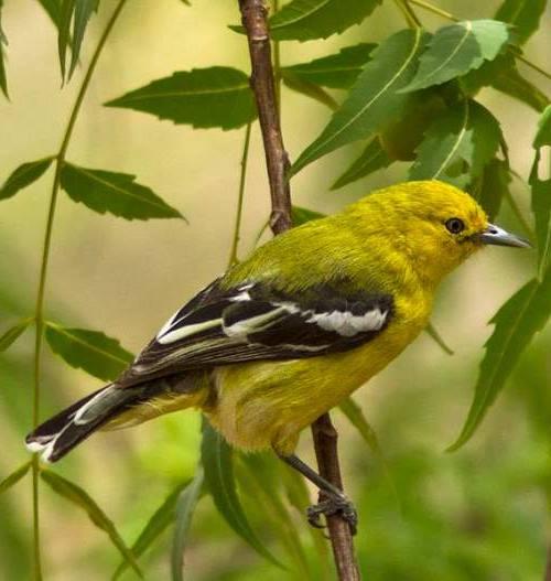1000 Gambar Burung Cipoh Jantan Hd Paling Baru Gambar Id
