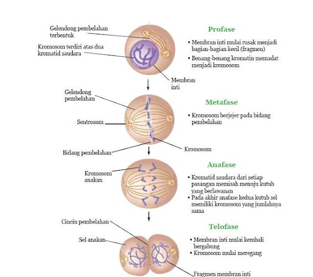 Gambar  . Tahapan pembelahan Mitosis