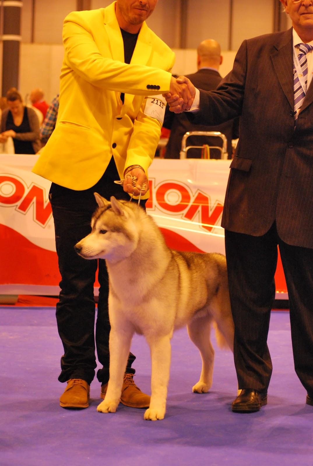 Mejor de raza Husky Siberiano Exposicion Madrid 2013 Morris de Ciukci