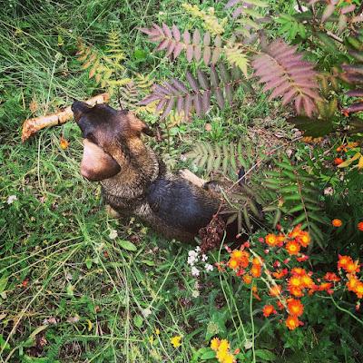 Mäyräkoira kepin kanssa sekä pihlaja-angervo ja oranssivoikeltanoita