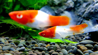 Khoi Swordtail Fish Community Tank 4K HD Wallpaper
