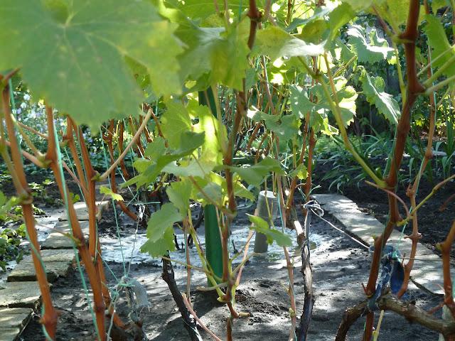 полив винограда перед зимовкой