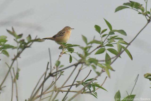 Zitting Cisticola - Beccamoschino | birdwatching by BixGe