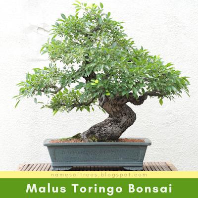 Malus Toringo Bonsai