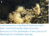 https://sciencythoughts.blogspot.com/2020/05/heteromeyenia-cristalina-radiospongilla.html