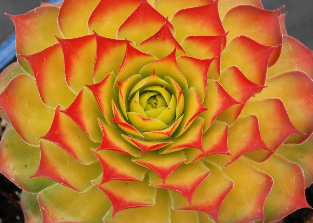 Suculenta roseta de siempreviva Sempervivum follaje amarillo dorado y rojo