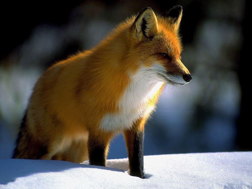 Desktop Nature wallpaper: Denali National Park, Alaska, Red Fox Picture, White Fox Wallpaper ...