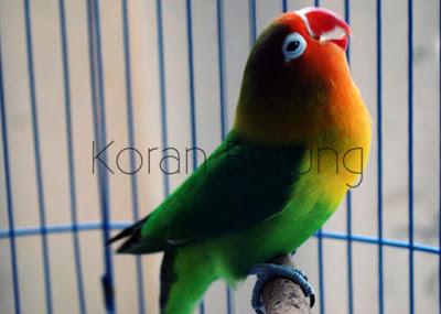 Sebagian wilayah Indonesia ketika ini sudah memasuki isu terkini hujan Perawatan Burung Lovebird Saat Musim Hujan