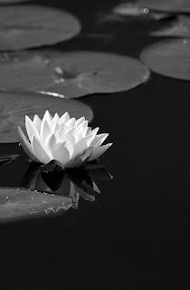 Gambar Bunga Teratai Terindah di Dunia 16