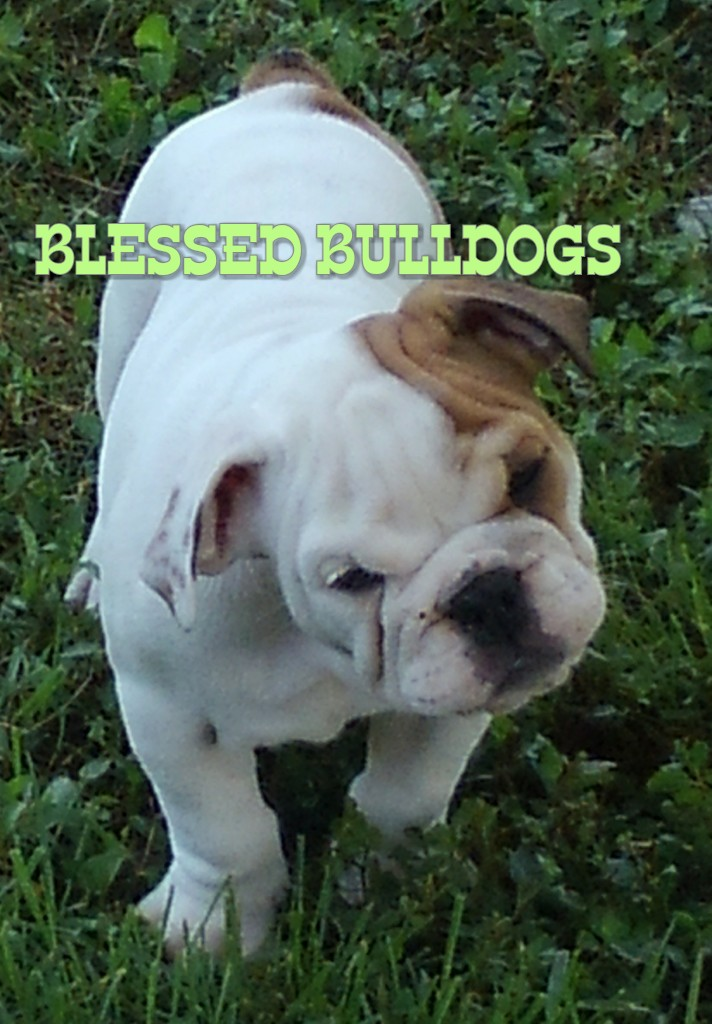 BLESSED BULLDOGS