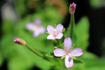 アカバナの花