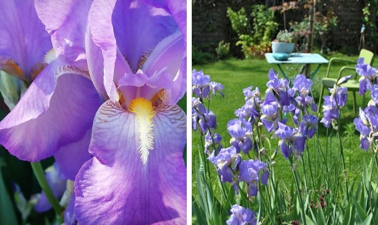 Iris helles Lila