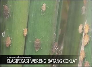 Klasifikasi dan Morfologi Wereng Batang Coklat (Nilaparvata lugens Stal)