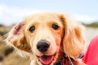 A close up of a beige coloured dog