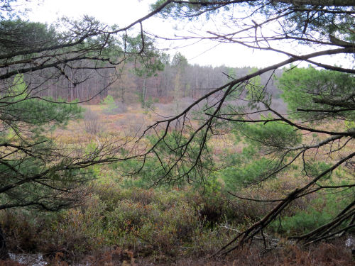 marsh with white pines at edge