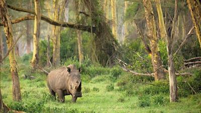Badak Bercula Satu Taman Nasional Ujung Kulon