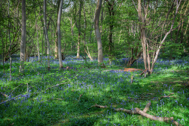 Sunshine on a bluebell glade in Waresley & Gransden Woods in Cambridgeshire
