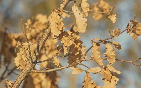 Dead leaves on tree with Bretziella fagacearum oak wilt disease