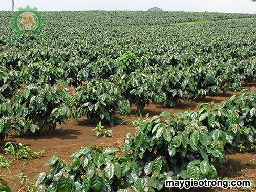 Hướng dẫn kỹ thuật trồng cây cà phê: Vườn cà phê