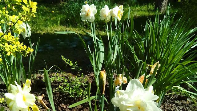 Фото нарцисса Гей Табор в моем саду