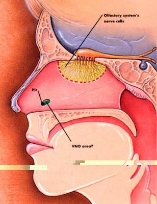 Resultado de imagen de organo vomeronasal