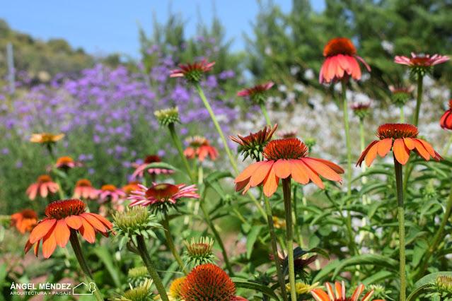 echinacea, flores, plantas, paisajismo, diseño de paisajismo, proyectos de paisajismo, plantas arquitectónicas, plantas con color, paisajistas, jardines paisajistas