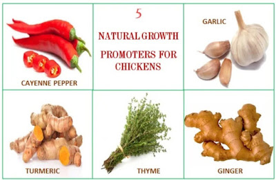 5 common organic growth promoters in poultry