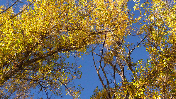 Bright yellow leaves against bright blue sky