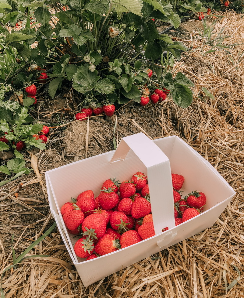 A basket full of strawberries on a pile of hay. A strawberry plant in the background, with strawberries attached to it's stems..