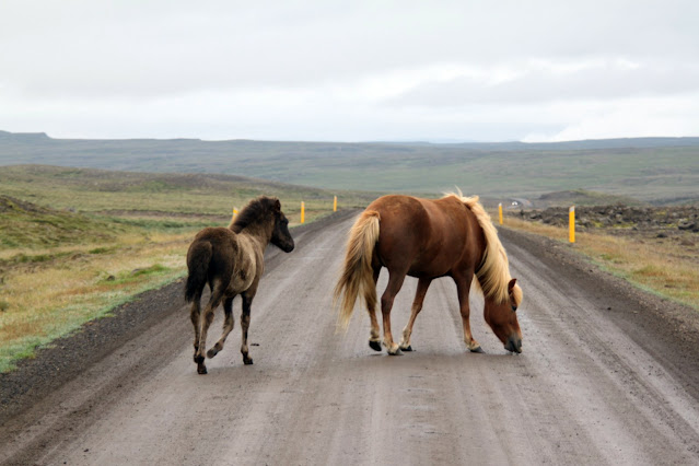 Cavalli islandesi lungo la strada-Islanda