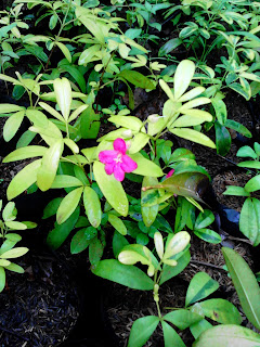 tanaman hias lovenia bunga pink