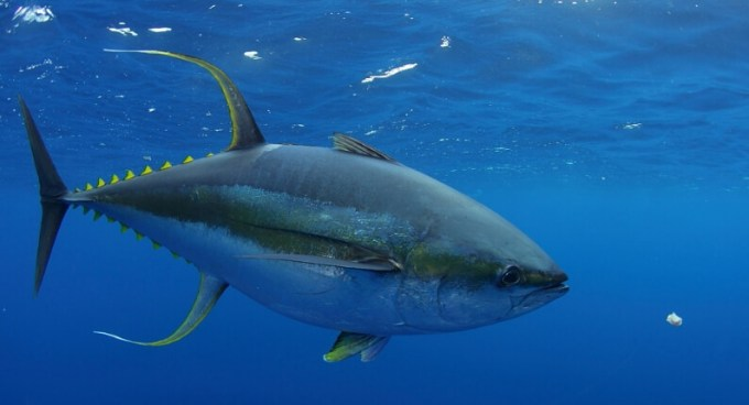 Ikan Tuna - Bluefin Tuna