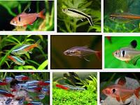 5 Jenis Ikan Hias Kecil Yang Sangat Cocok Untuk Dijadikan Peluang Usaha
