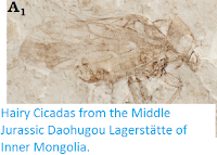 https://sciencythoughts.blogspot.com/2016/07/hairy-cicadas-from-middle-jurassic.html