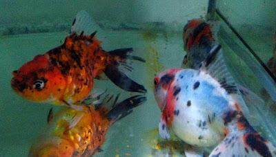 Cara Memijahkan Ikan Koki di Aquarium