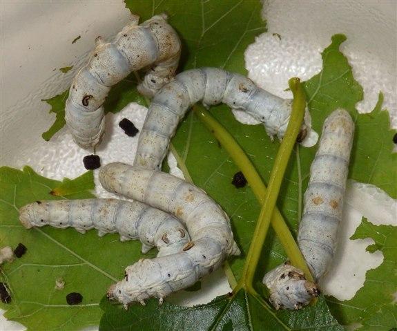 İpek böceği - İ Hayvan İsimleri