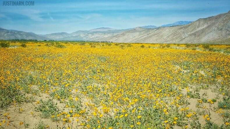 Wildflowers of Anza Borrego Desert