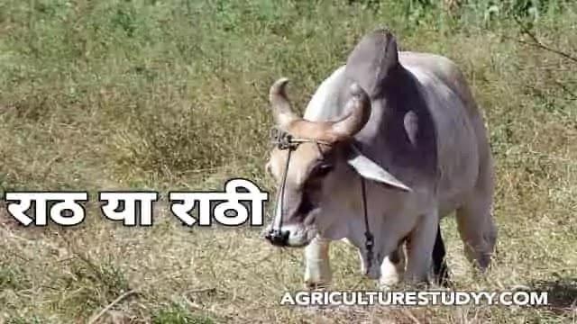 राठी नस्ल की गाय के बारे में पूरी जानकारी