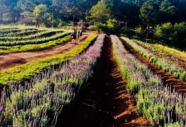 Doi hoa Lavender - Lavender Garden - ClownVietNam dich vu cung cap xe du lich 0909381581