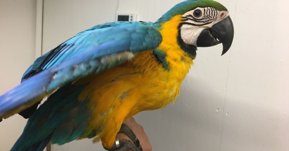 Parrots And Exotic Birds For Sale Gorgeous Blue Gold