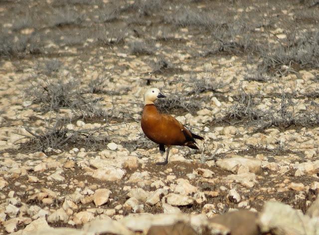 Ruddy Shelduck - Reserva de El Jarde, Fuerteventura