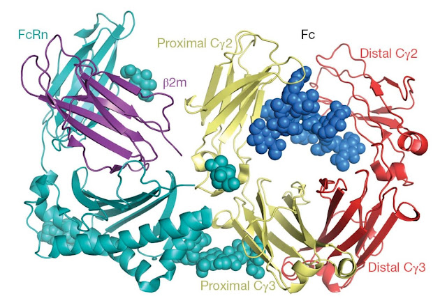Structure of the rat neonatal Fc receptor binding to the Fc of IgG