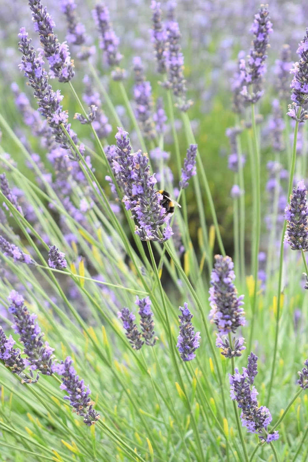 Where to Find Lavender Fields in the North of England - Trip to Yorkshire Lavender