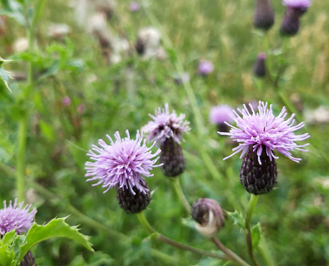 Small purple thistle-like flowers against a background of green leaves