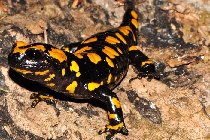 Amphibians: Corsican Fire Salamander, Salamandra corsica